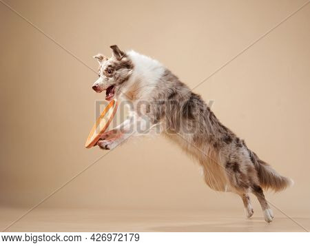 The Dog Catches Disk. Expressive Marble Border Collie. Funny Pet On On A Beige Background
