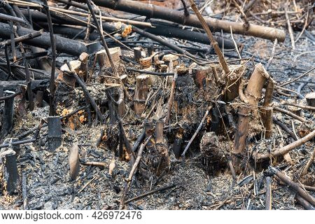 Bamboo Tree Burns, But Only The Stump, The Bamboo Tree Died Because Of The Fire.