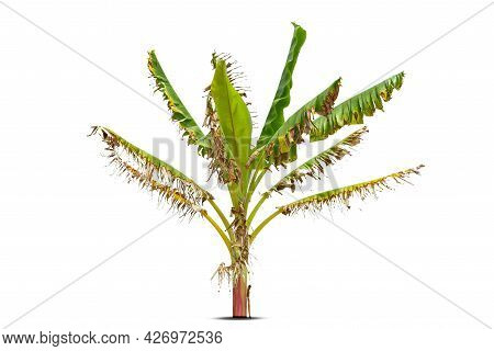 Banana Tree, Yellow Dried Banana Leaves    Isolated On White Background