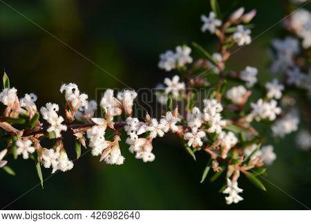 Australian Native Pink Beard Heath Flowers, Leucopogon Ericoides, Family Ericaceae, Flowering In Win