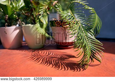 Chamaedorea Potted Palm And Other Plants Put Into Sunlight