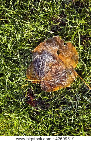 leaves with snow frost on a green grass