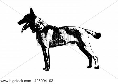 Black And White Full-length Portrait Of Dog With Tongue And Tail Sticking Out On White. Adult Male B