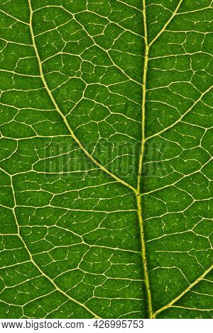 Fresh Leaf Of Fruit Tree Close-up. Green And Yellow Mosaic Pattern Of A Net Of Veins And Plant Cells
