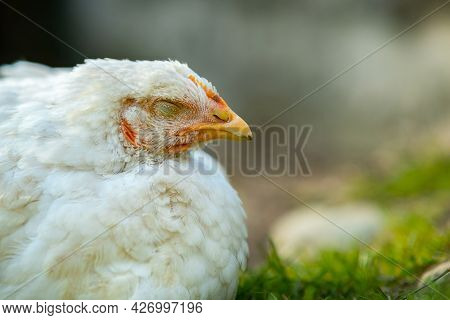 Hen Feed On Traditional Rural Barnyard. Close Up Of White Chicken Sitting On Barn Yard With Green Gr
