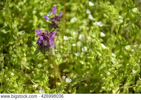 Flowering Herb, Meadow With Wildflowers On Sunny Day. Beautiful Natural Background. Selective Focus.