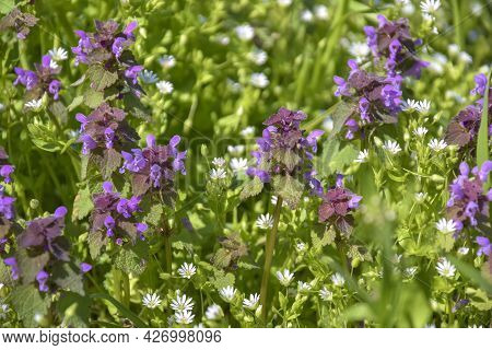 Colorful Flowering Herb Meadow With White And Purple Wildflowers On Sunny Day. Beautiful Natural Bac