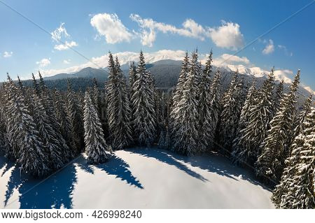 Bright Landscape With Tall Evergreen Pine Trees Covered With Fresh Fallen Snow In Winter Mountain Fo