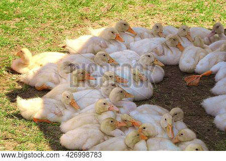 A Flock Of Ducklings Are Sitting In The Shade On The Green Grass. Yellow Fluffy Birds With Pink Beak