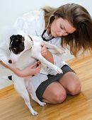 Veterinarian examining jack russell terrier with stethoscope poster