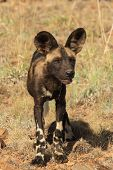 African Wild Dog pup poster