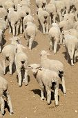 Sheep (mostly ewes) ready for auction at a producers' market, San Angelo, West Texas, US poster