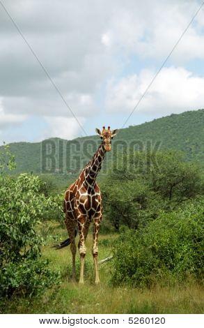 Masaai Giraffe, Samburu Game Reserve, Kenya