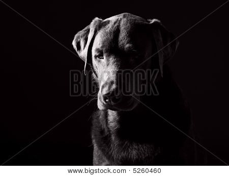 Powerful Black And White Shot Of A Sad Looking Labrador
