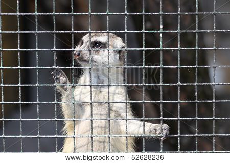 Meercat in cage