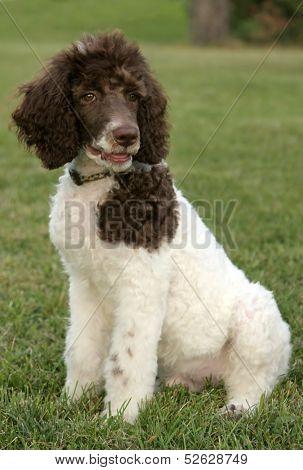 Standard parti poodle puppy