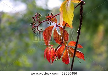 red leaves of wild grapes close up poster
