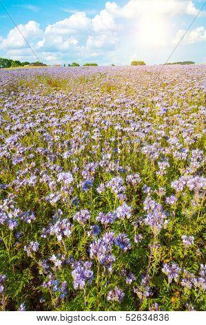 Field of blooming Lacy phacelia (Phacelia tanacetifolia) with a shining sun