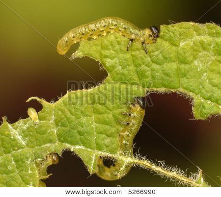 Caterpillars Eating Leaf