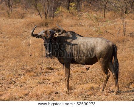 Wildebeest portrait