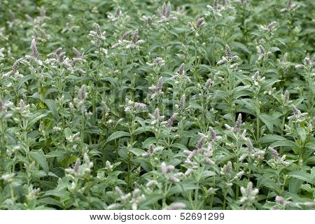 close up of resh mint in garden
