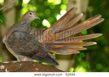 a dove preening on a branch poster