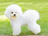 A small beautiful and adorable white fluffy bichon frise dog standing on the lawn and looking cheerful. poster