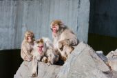 A Family of Monkeys people watching at the zoo. poster