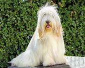 A young happy beautiful white fawn Bearded Collie sitting. Beardie dogs were used for herding distinctive for their long straight coat. poster