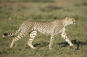 Adult Female Cheetah (Acinonyx jubatus) Tanzania Serengeti National Park poster