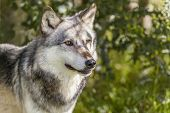 North American Gray Wolf, Canis Lupus poster