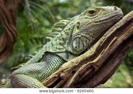 Iguana Resting On Branch