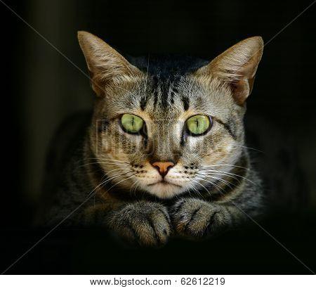 Green eye Cat.