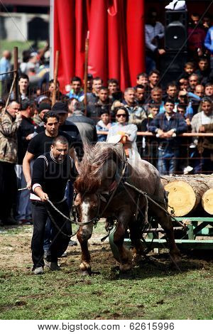 Traditional Gipsy Horse Towing Sport