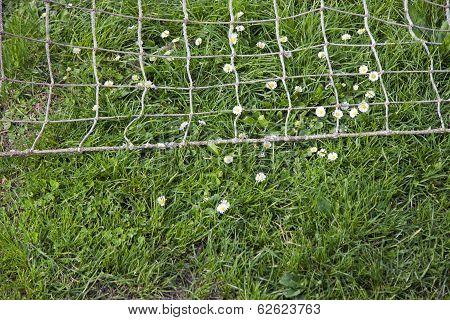 Daisies On The Football Field