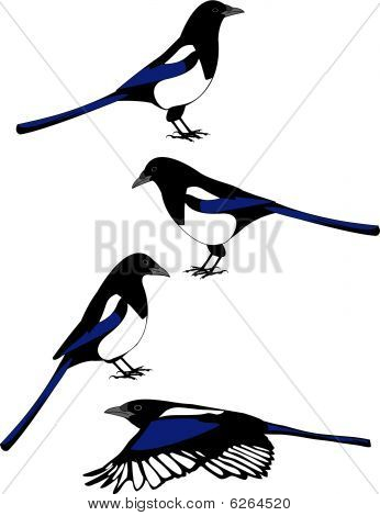 vector of magpies in various poses
