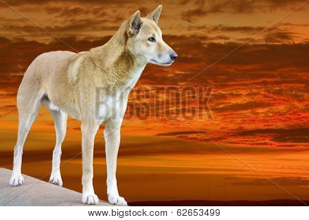 Dingo In The Sunset