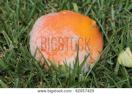 A genuine Moldy and rotting orange in a garden. Decomposition is an important part of the earth, breaking down organic material into its elements and minerals re-depositing them back into the soil.