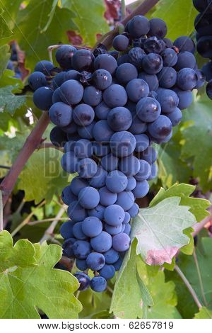Close-up of wine grapes