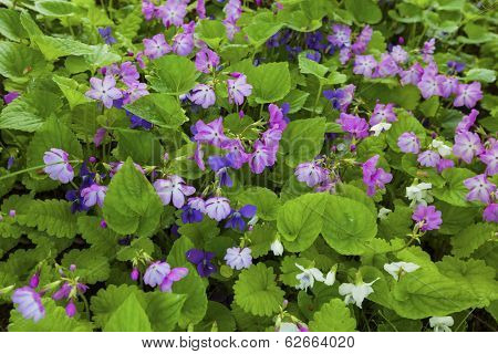 Violets and primula flowering as a groundcover under some trees in the spring garden.