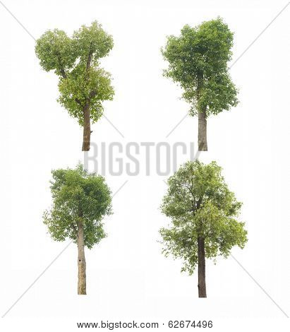 camphor tree isolated on white