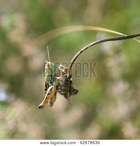Grasshopper In A Meadow (chorthippus Paralellus)