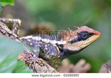 Acanthosaura Armata, Greater Spiny Lizard, Black Faced Lizard, Masked Spiny Lizard, Tree Lizard, Aca