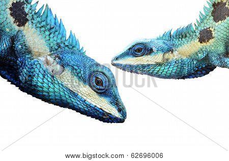 Blue Lizard And Green Lizard (lacerta Viridis), Beauty Colorful