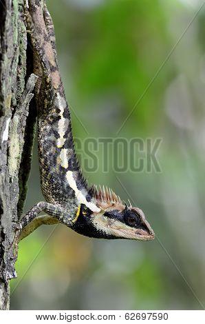 Greater Spiny Lizard, Acanthosaura Armata, Black Faced Lizard, Masked Spiny Lizard, Tree Lizard, Aca