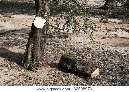 Trunk of olive tree cut in the ground