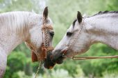 arab horses love in a green autumn background poster