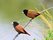 Black-headed Munia bird on the branch with clear green background breeding season poster