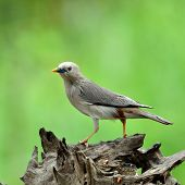 Chestnut-tailed Starling bird (Sturnus malabaricus) standing on nice log with green background poster