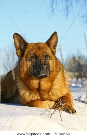 Bright Dog Lying On A Snow